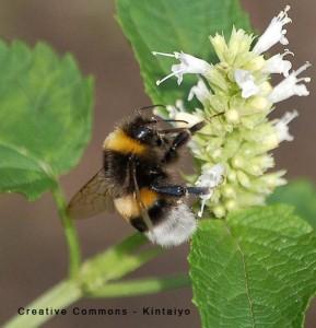 579px-Bumblebee_Hummel